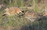 Horned Lark parent giving bug to youngster DPP_10026456 copy.jpg