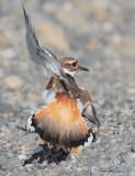 Killdeer near nest, faking injured wing DPP_1034338.jpg