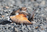 Killdeer near nest, faking injured wing DPP_1034339 copy.jpg