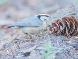 Red-breasted Nuthatch DPP_10034370.jpg