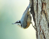 Red-breasted Nuthatch DPP_10039838 copy.jpg