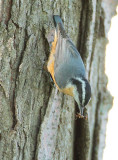 Red-breasted Nuthatch with earwig DPP_10039840 copy.jpg