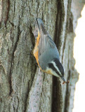 Red-breasted Nuthatch with earwig DPP_10039841 copy.jpg