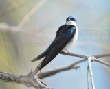 Tree Swallow DPP_10028207 copy.jpg