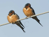 Barn Swallows DPP_16015832 copy.jpg