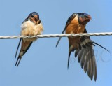 Barn Swallows DPP_16015833 copy.jpg