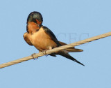 Barn Swallow DPP_1624546 copy.jpg