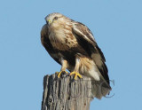 Rough-legged hawk,  DPP_09181 copy.jpg