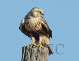Rough-legged hawk,  DPP_09182 copy.jpg