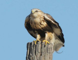 Rough-legged hawk,  DPP_09183 copy.jpg