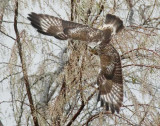 Rough-legged hawk,  DPP_09594 - 3 copy.jpg