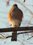 Sharp-shinned Hawk, Wenatchee DPP_1006543 copy.jpg