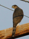 ?Cooper's or Goshawk, very large for coopers; if the wood is 6, this bird is over 20  DPP_1006928 copy.jpg