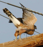 ?Cooper's or Goshawk, juvenile plumage  DPP_1006932 copy.jpg