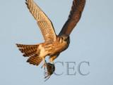 Falcons Feeding