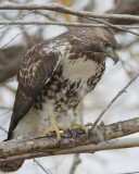 Red-tailed Hawk, Toppenish DPP_1008438 copy.jpg