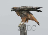 Red-tailed Hawk, Toppenish DPP_1008461 - 1 copy.jpg
