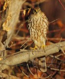 Sharp-shinned Hawk, Yakima DPP_19285 copy.jpg