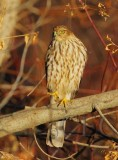Sharp-shinned Hawk, Yakima DPP_19287 copy.jpg