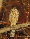 Sharp-shinned Hawk, Yakima DPP_19298 copy.jpg