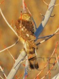 Sharp-shinned Hawk, Yakima DPP_19368 copy.jpg
