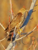 Sharp-shinned Hawk, Yakima DPP_19371 copy.jpg