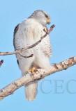 Ferruginous Hawk, Wapato DPP_1043323 copy.jpg