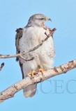 Ferruginous Hawk, Wapato DPP_1043327 copy.jpg