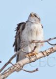 Ferruginous Hawk, Wapato DPP_1043328 copy.jpg
