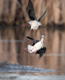 Masters of the mud and air, black necked stilt AE2D5007 copy.jpg