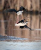 Masters of the mud and air, black necked stilt AE2D5008 copy.jpg