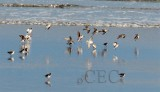 Semipalmated Plovers with Dunlin and peeps  AE2D7235 copy.jpg