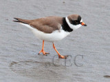 Semipalmated Plover AE2D7249 copy.jpg