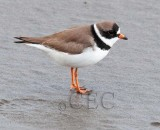 Semipalmated Plover AE2D7250 copy.jpg