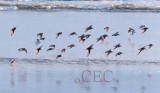 Semipalmated Plovers with Dunlin and peeps  AE2D7331 copy.jpg