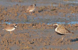 Pacific Golden Plover (breeding plumage) (Semipalmated plovers) AE2D8086 copy.jpg