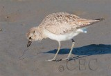 Black-Bellied Plover (non-breeding plumage) eating thin red worm  AE2D8497 copy.jpg
