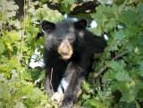 Cub hunts acorn 4/4 AEZ27606 copy.jpg
