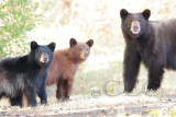 Mother and cubs  AEZ27742 copy.jpg