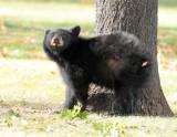 Cub scratching AEZ27893 copy.jpg