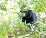 Acorn hunting cub AEZ27931 copy.jpg