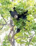 Cub in tree  AEZ28083 copy.jpg