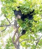 Cub in tree  AEZ28085 copy.jpg