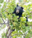Cub in tree  AEZ28092 copy.jpg