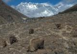 Grazing Thar beneath Everest and Lhotse