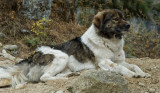 'Alpha male' Nepalese dog