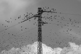 Starlings and wires II.