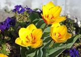 Tulpen (93457)