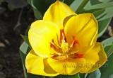 Tulpe (93454)