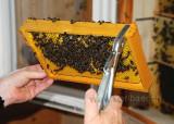 Bienen / Bees (104055)